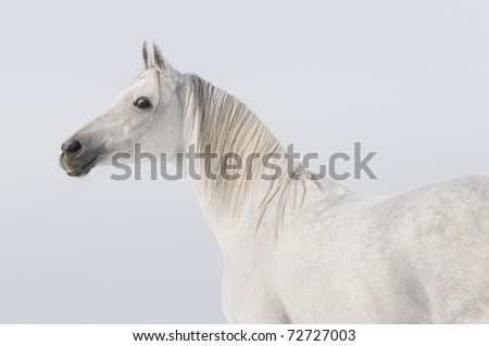 white arabian stallion portrait on sky background