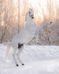 White arabian stallion with snow