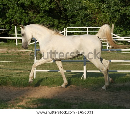 White Arabian trotting