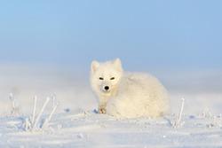 White arctic fox (Vulpes Lagopus) lying on Arctic tundra. Snow Fox.