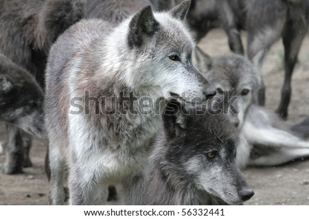White, arctic wolf in a pack of timberwolves