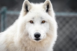 White arctic wolf looking. Portrait of Polar wolf with beautiful fur