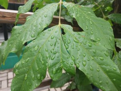 white ash, or American ash, is a species of ash tree native to eastern and central North America. in scientific language called Fraxinus americana. green leaf with dewdrop on it
