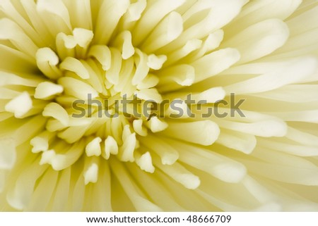 White aster flower photographed in close-up - background #48666709