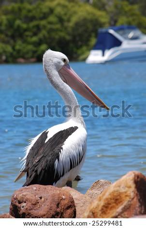 white australian pelican