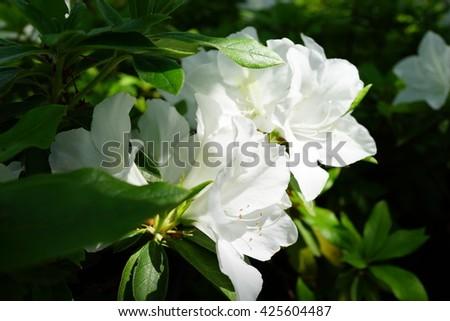 White azalea flower ez canvas white azalea flower mightylinksfo