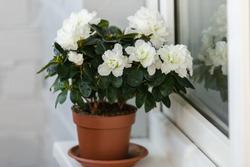 White azalea in a brown flowerpot on the windowsill blooms profusely