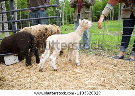 White Babydoll lamb sniffing young womans hand in pen.