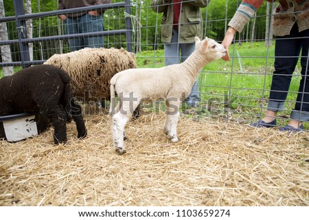White babydoll lamb sniffs young womans hand.