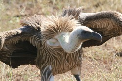 white backed vulture close up