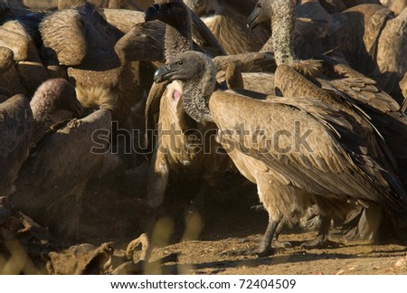 White Backed Vulture Feeding Frenzy