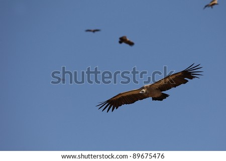 White-backed Vulture flying in Kruger National park, South Africa