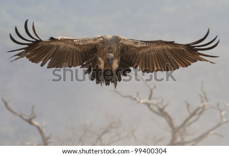 White Backed Vulture (Gyps africanus) in flight, South Africa