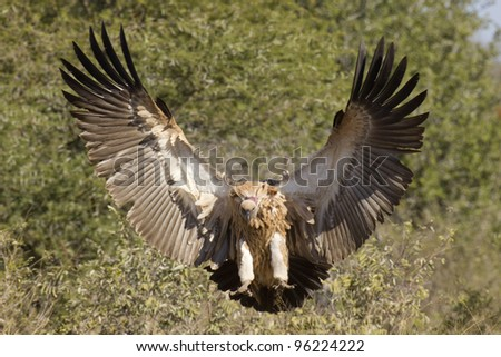 White Backed Vulture (Gyps africanus) landing in South Africa