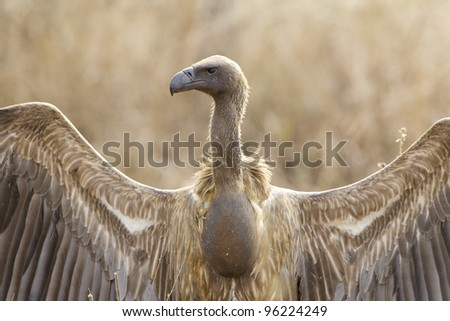 White Backed Vulture (Gyps africanus), with a full crop, Kruger Park, South Africa