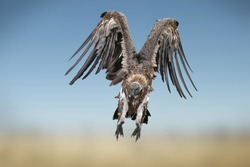White-backed vulture in flight in the Masai Mara, Kenya . ( Gyps Africanus ) and preparing to land on the carcasses of the dead wildebeest in the Mara river.