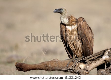 White-backed Vulture, lake nakuru, kenya