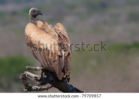 White-backed Vulture sitting on dead tree