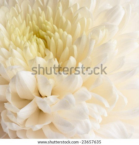White background - dahlia close-up