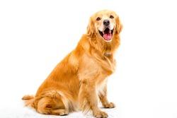 White background shot golden dog