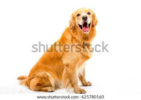 White background shot golden dog #625780160