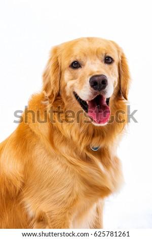 White background shot golden dog #625781261