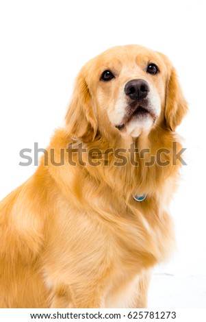White background shot golden dog #625781273