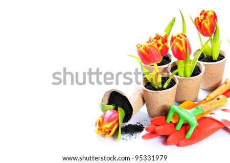 White background with tulip  in the papers pots and garden tools