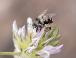 White banded digger bee, canary islands