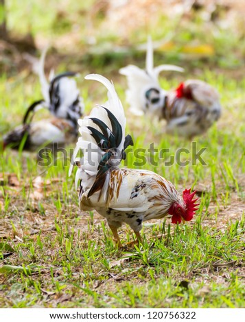 White Bantam  on grass in Countryside from thailand