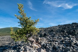 White Bark Pine Tree (Pinus albicaulis) on Big Obsidian Flow in Newberry Crater National Monument growing out of black volcanic glass solid rock