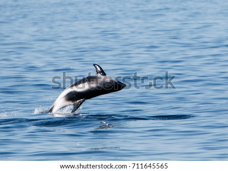 White beaked dolphin jumping out of the water. - Shutterstock ID 711645565
