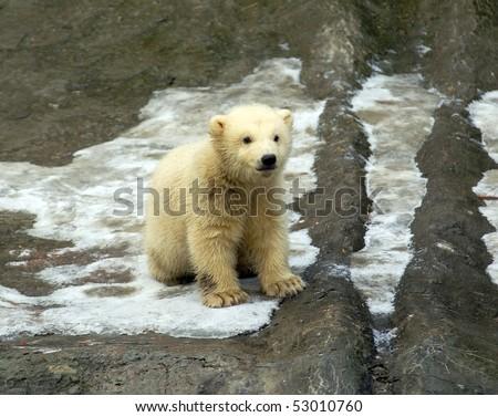 White bear cub - stock photo