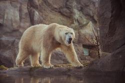 White bear in a zoo