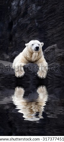 White bear on the rocks, Lying polar bear situated on a rock, reflected in water