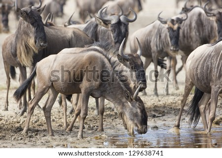 White Bearded Wildebeest on the great migration drinking water from a stream in the Ndutu area of the Ngorongoro Conservation area in Tanzania. (Connochaetes taurinus mearnsi)