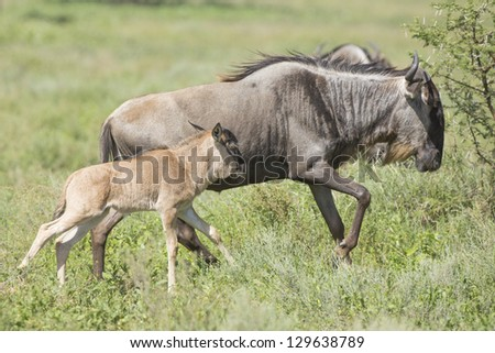 White Bearded Wildebeest running on the great migration in the Ndutu area of the Ngorongoro Conservation area in Tanzania. (Connochaetes taurinus mearnsi)