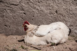 white beautiful chicken lies in the sand on a bird farm in the countryside. Reproduction of birds. Chicken farm in the village.