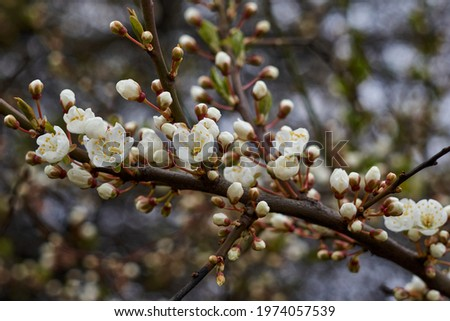 White beautiful flowers in the tree blooming in the early spring, backgroung blured. High quality photo Сток-фото ©