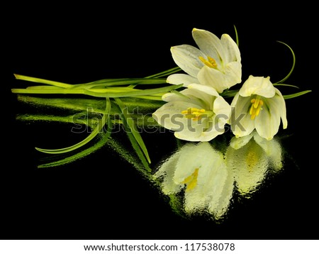 White bell of fritillaria on a black background with water drops