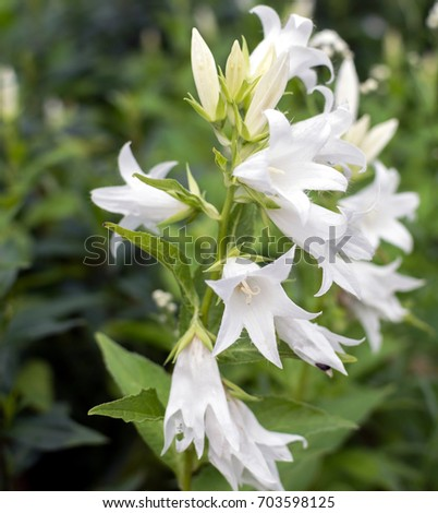 White bellflowers campanula in the garden ez canvas white bellflowers campanula in the garden mightylinksfo