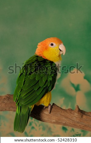 White bellied caique parrot