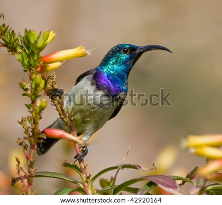 White-bellied Sunbird looking for nectar in yellow flowers