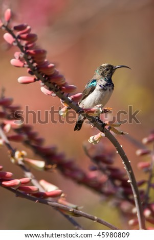 White-bellied Sunbird on aloe in greater Kruger park