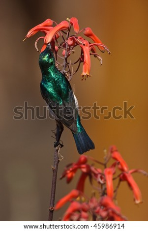 White-bellied Sunbird on twig in the greater Kruger park