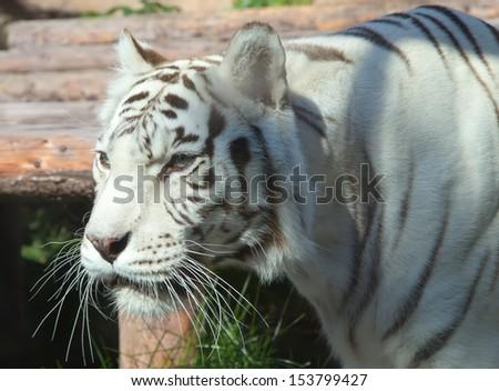 White Bengal Tiger #153799427