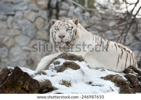 White Bengal Tiger Calm Lying on Tree in Fresh Snow