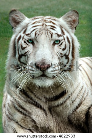 White Bengal Tiger in a close up view portrait looking into the camera