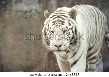 white bengal tiger in zoo