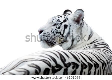 White bengal tiger, isolated white - stock photo